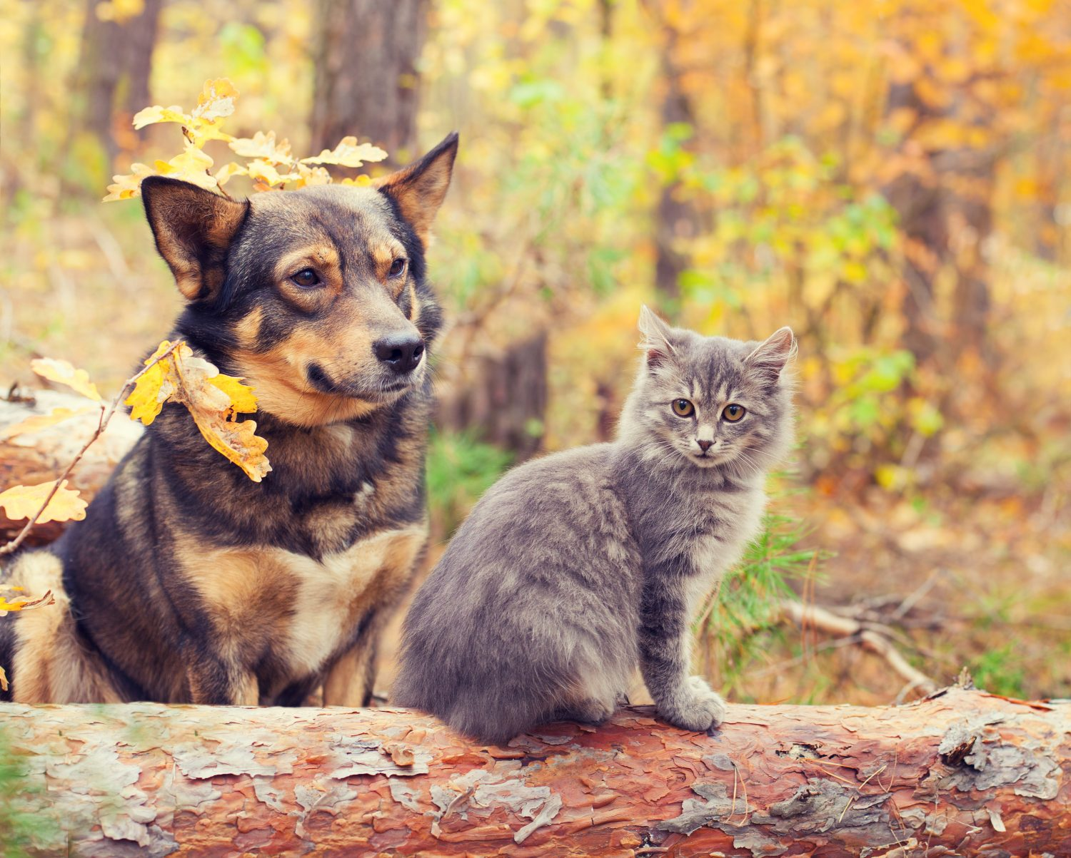 A brown and black dog with a grey cat in the outdoors