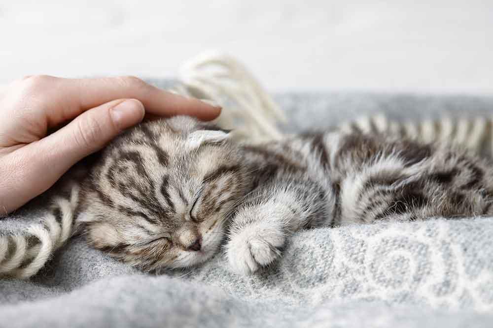 Veterinary anesthesia Charlotte grey cat